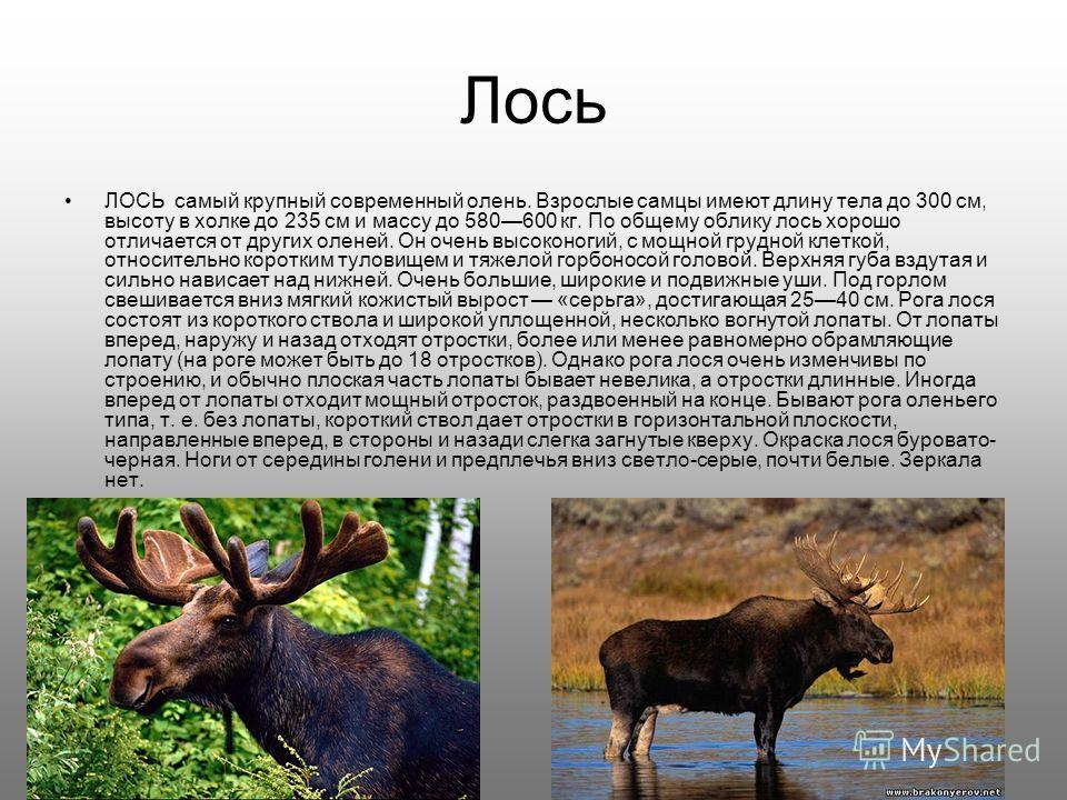 Лось ЛОСЬ самый крупный современный олень. Взрослые самцы имеют длину тела до 300 см, высоту в холке до 235 см и массу до 580600 кг. По общему облику лось хорошо отличается от других оленей. Он очень высоконогий, с мощной грудной клеткой, относительн