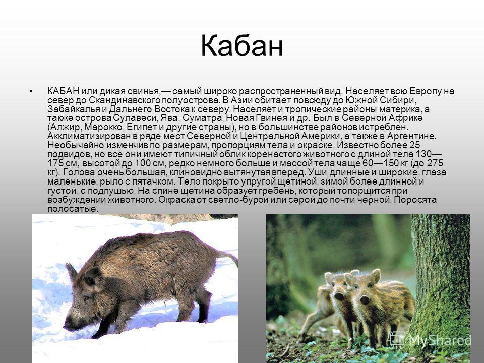 Кабан КАБАН или дикая свинья, самый широко распространенный вид. Населяет всю Европу на север до Скандинавского полуострова. В Азии обитает повсюду до Южной Сибири, Забайкалья и Дальнего Востока к северу. Населяет и тропические районы материка, а так