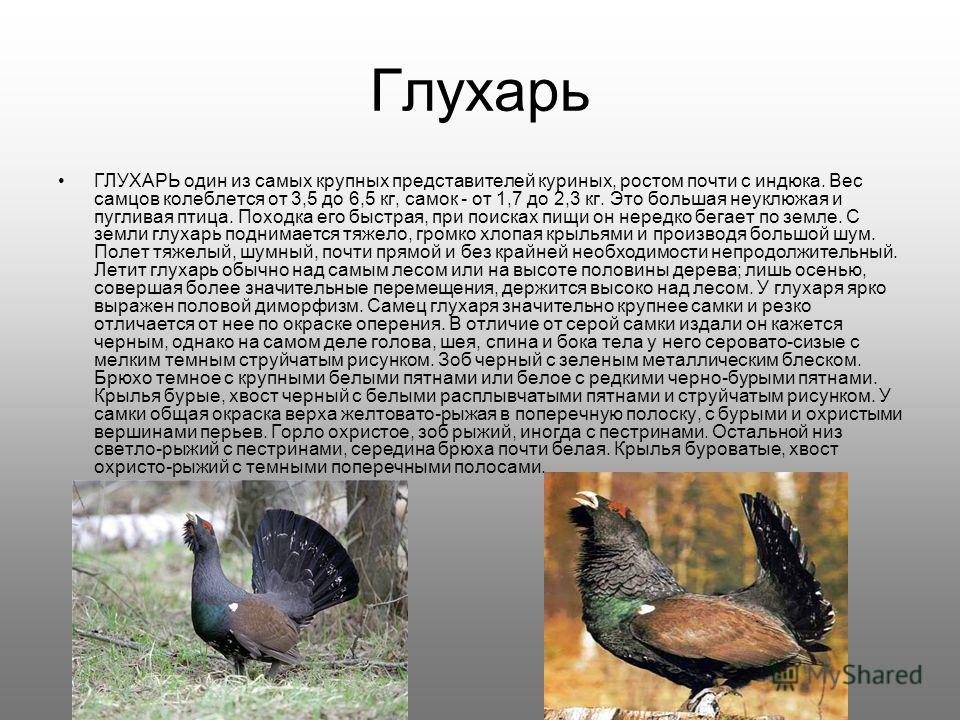 Глухарь ГЛУХАРЬ один из самых крупных представителей куриных, ростом почти с индюка. Вес самцов колеблется от 3,5 до 6,5 кг, самок - от 1,7 до 2,3 кг. Это большая неуклюжая и пугливая птица. Походка его быстрая, при поисках пищи он нередко бегает по