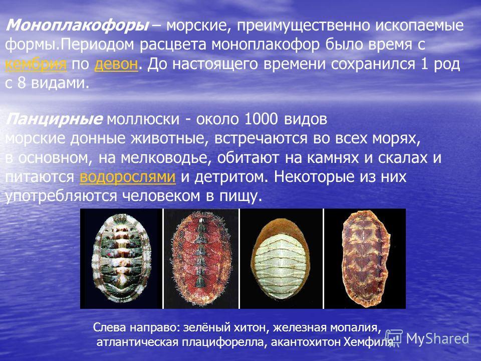 Моноплакофоры – морские, преимущественно ископаемые формы.Периодом расцвета моноплакофор было время с кембрия по девон. До настоящего времени сохранился 1 род с 8 видами. кембриядевон Панцирные моллюски - около 1000 видов морские донные животные, вст