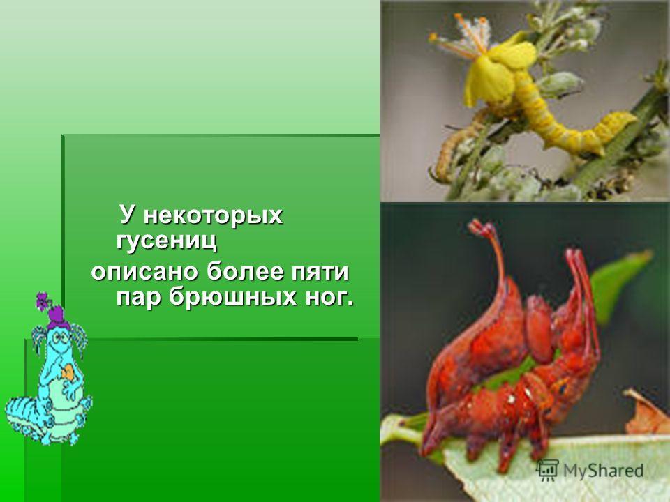 У некоторых гусениц описано более пяти пар брюшных ног.