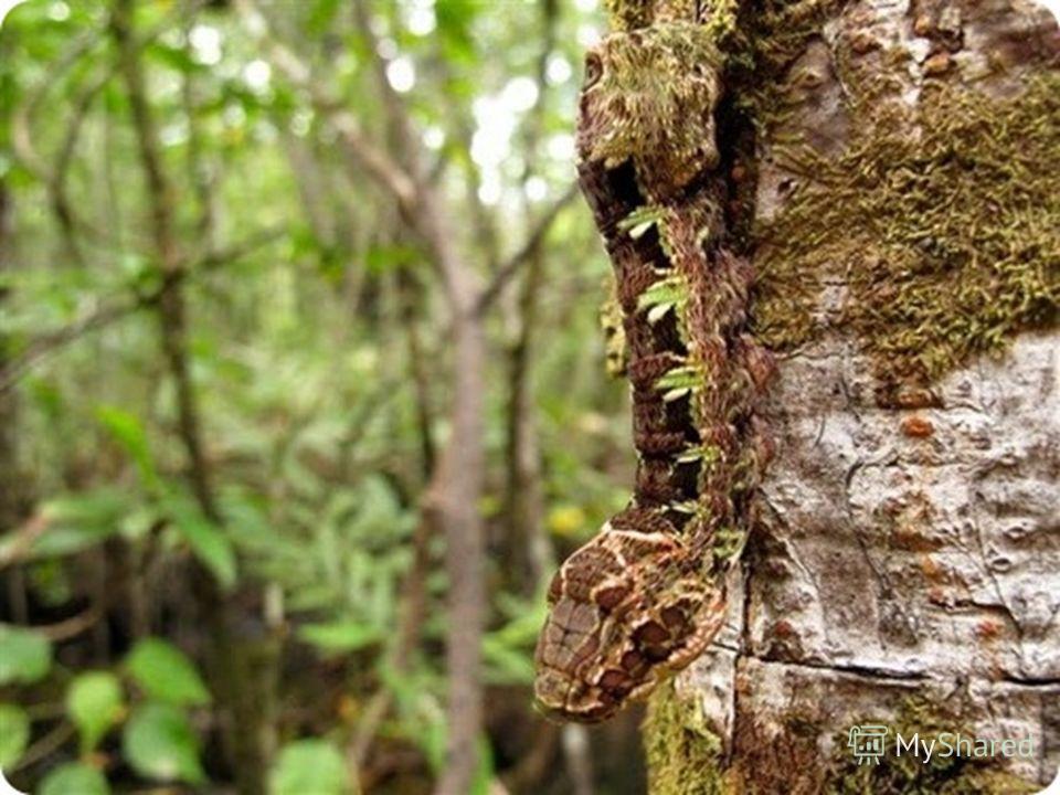 Это существо настоящий шедевр природы! Встречается оно только в тропических лесах Мексики. В состоянии покоя это создание выглядит вполне нормально, такая себе серо-коричневая гусеница, но если ее напугать, то она претерпевает удивительную трансформа