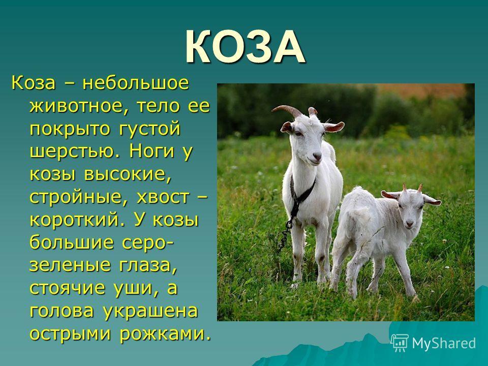 КОЗА Коза – небольшое животное, тело ее покрыто густой шерстью. Ноги у козы высокие, стройные, хвост – короткий. У козы большие серо- зеленые глаза, стоячие уши, а голова украшена острыми рожками.
