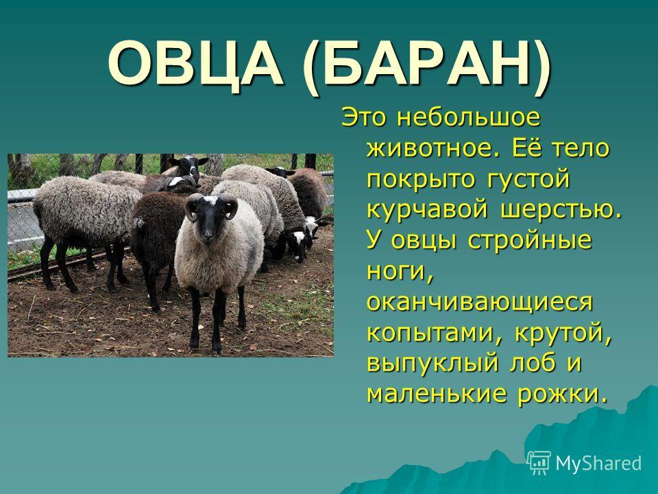 ОВЦА (БАРАН) Это небольшое животное. Её тело покрыто густой курчавой шерстью. У овцы стройные ноги, оканчивающиеся копытами, крутой, выпуклый лоб и маленькие рожки.