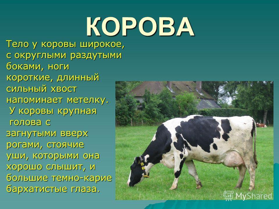 КОРОВА Тело у коровы широкое, с округлыми раздутыми боками, ноги короткие, длинный сильный хвост напоминает метелку. У коровы крупная У коровы крупная голова с голова с загнутыми вверх рогами, стоячие уши, которыми она хорошо слышит, и большие темно-