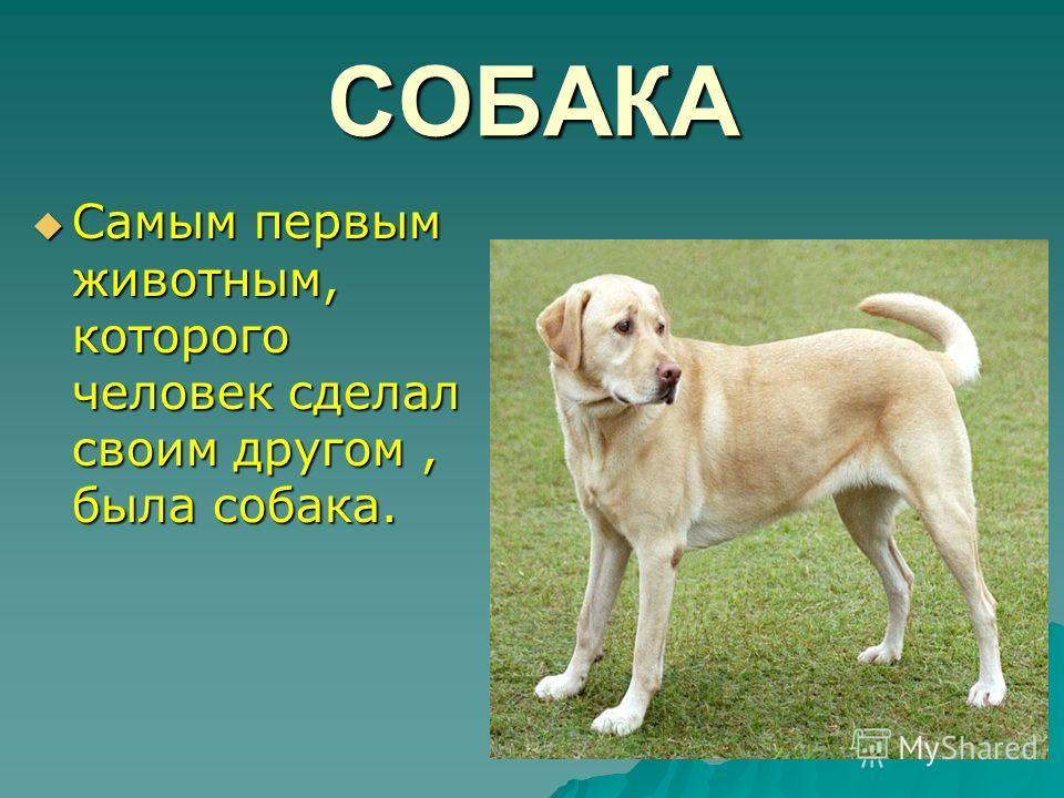 СОБАКА Самым первым животным, которого человек сделал своим другом, была собака. Самым первым животным, которого человек сделал своим другом, была собака.