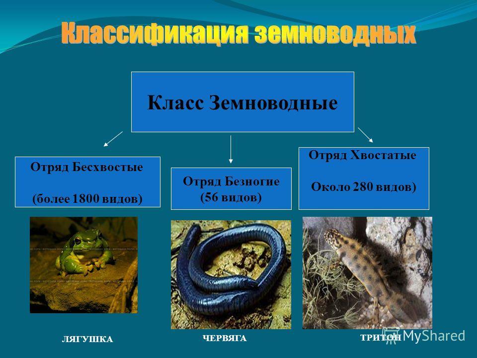 Класс Земноводные Отряд Бесхвостые (более 1800 видов) Отряд Хвостатые Около 280 видов) Отряд Безногие (56 видов) ЧЕРВЯГА ТРИТОН ЛЯГУШКА