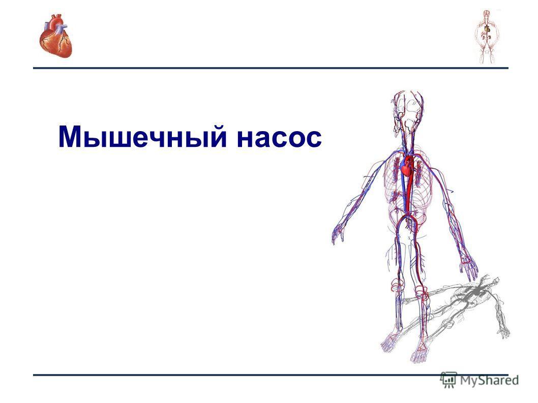 14 Мышечный насос