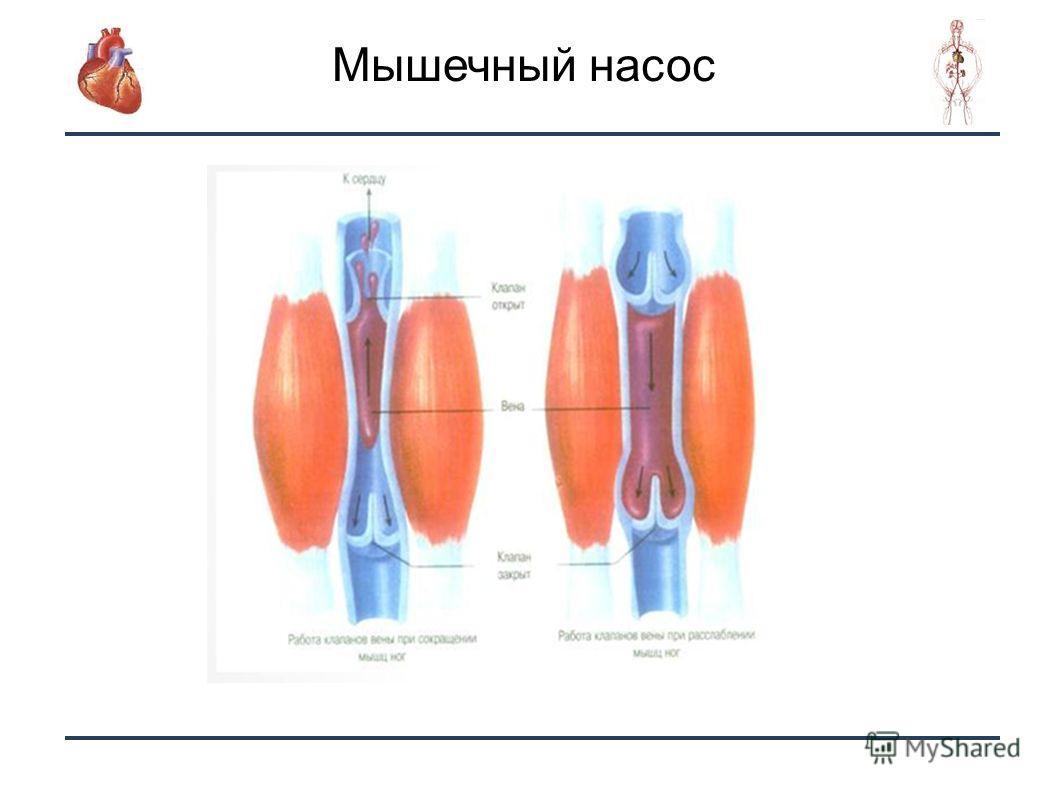 15 Мышечный насос.