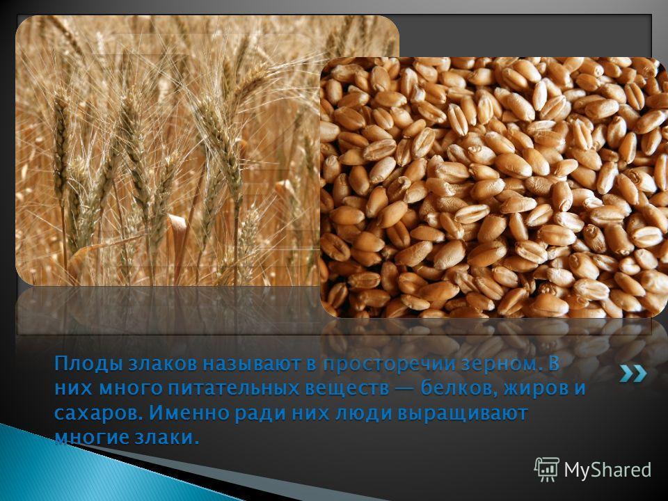 Плоды злаков называют в просторечии зерном. В них много питательных веществ белков, жиров и сахаров. Именно ради них люди выращивают многие злаки.