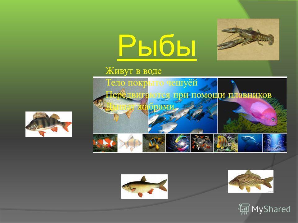 Рыбы Живут в воде Тело покрыто чешуёй Передвигаются при помощи плавников Дышат жабрами.