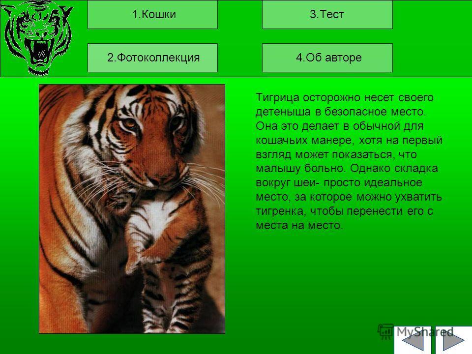 1.Кошки3.Тест Тигрица осторожно несет своего детеныша в безопасное место. Она это делает в обычной для кошачьих манере, хотя на первый взгляд может показаться, что малышу больно. Однако складка вокруг шеи- просто идеальное место, за которое можно ухв