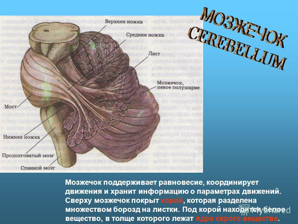 Мозжечок поддерживает равновесие, координирует движения и хранит информацию о параметрах движений. Сверху мозжечок покрыт корой, которая разделена множеством борозд на листки. Под корой находится белое вещество, в толще которого лежат ядра серого вещ
