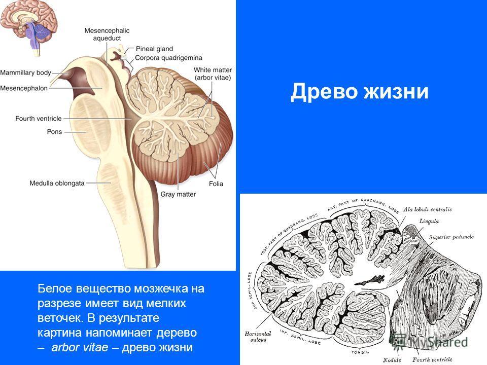 Древо жизни Белое вещество мозжечка на разрезе имеет вид мелких веточек. В результате картина напоминает дерево – arbor vitae – древо жизни