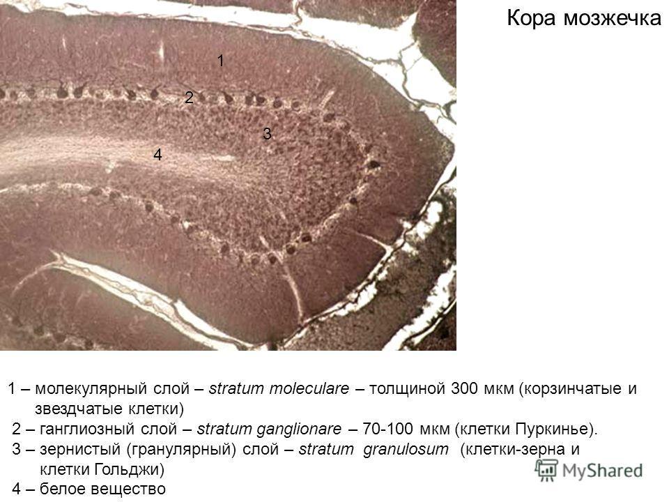 1 2 3 4 1 – молекулярный слой – stratum moleculare – толщиной 300 мкм (корзинчатые и звездчатые клетки) 2 – ганглиозный слой – stratum ganglionare – 70-100 мкм (клетки Пуркинье). 3 – зернистый (гранулярный) слой – stratum granulosum (клетки-зерна и к
