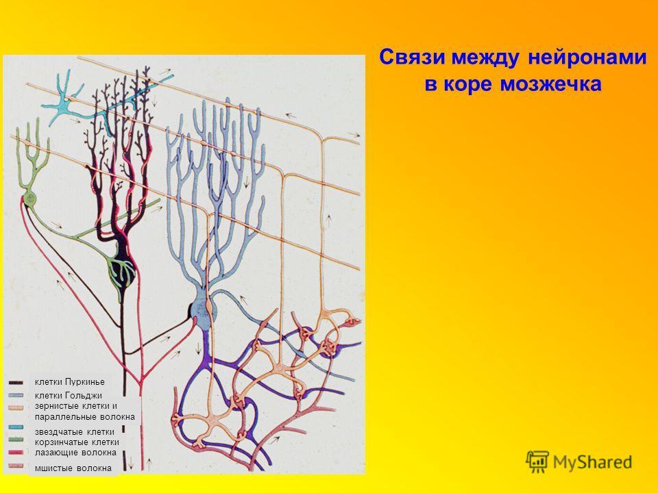 клетки Пуркинье зернистые клетки и параллельные волокна клетки Гольджи лазающие волокна мшистые волокна корзинчатые клетки звездчатые клетки Связи между нейронами в коре мозжечка
