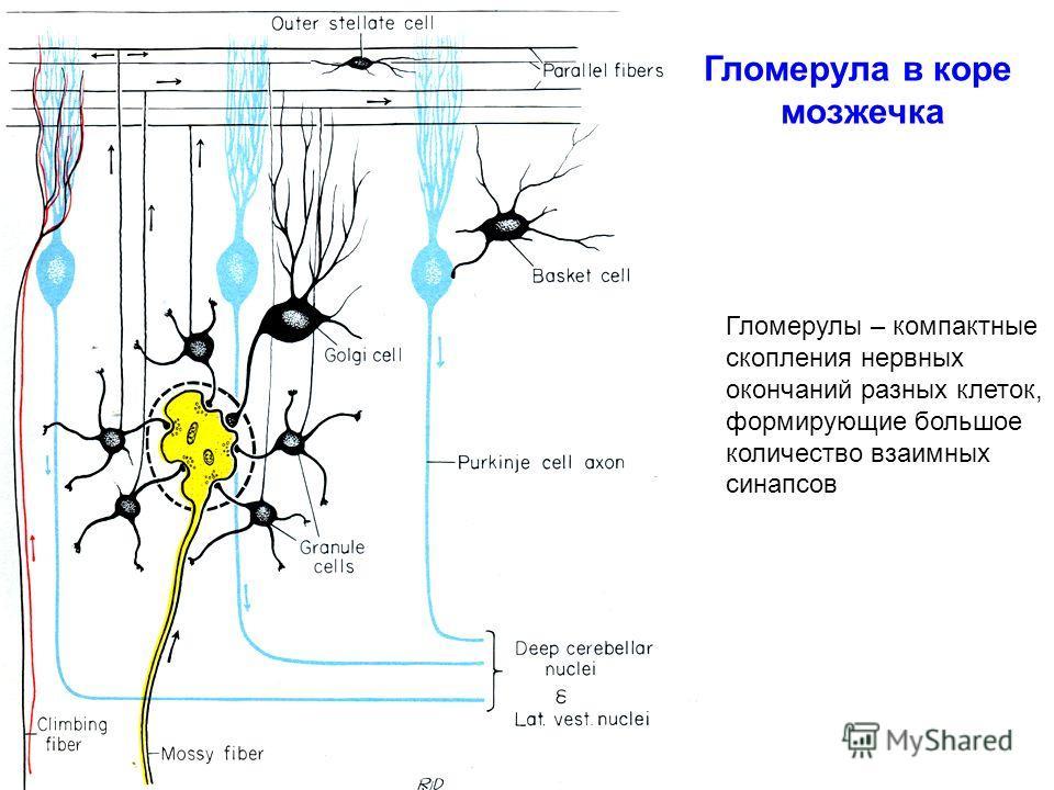 Гломерула в коре мозжечка Гломерулы – компактные скопления нервных окончаний разных клеток, формирующие большое количество взаимных синапсов