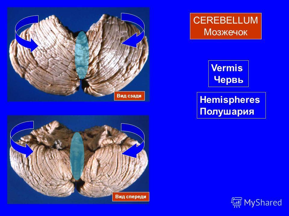 CEREBELLUM Мозжечок Вид спереди Вид сзади Vermis Червь Hemispheres Полушария