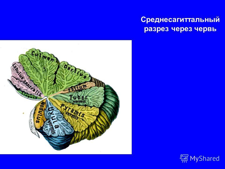 Среднесагиттальный разрез через червь