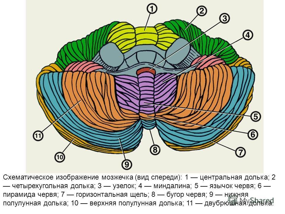 Схематическое изображение мозжечка (вид спереди): 1 центральная долька; 2 четырехугольная долька; 3 узелок; 4 миндалина; 5 язычок червя; 6 пирамида червя; 7 горизонтальная щель; 8 бугор червя; 9 нижняя полулунная долька; 10 верхняя полулунная долька;