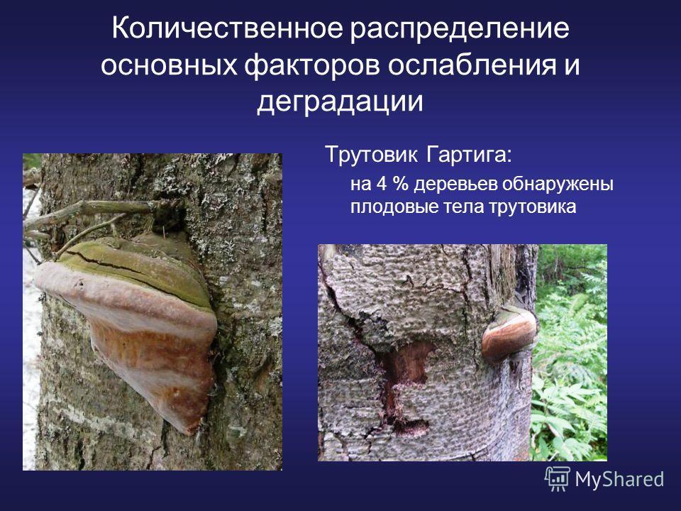Количественное распределение основных факторов ослабления и деградации Трутовик Гартига: на 4 % деревьев обнаружены плодовые тела трутовика