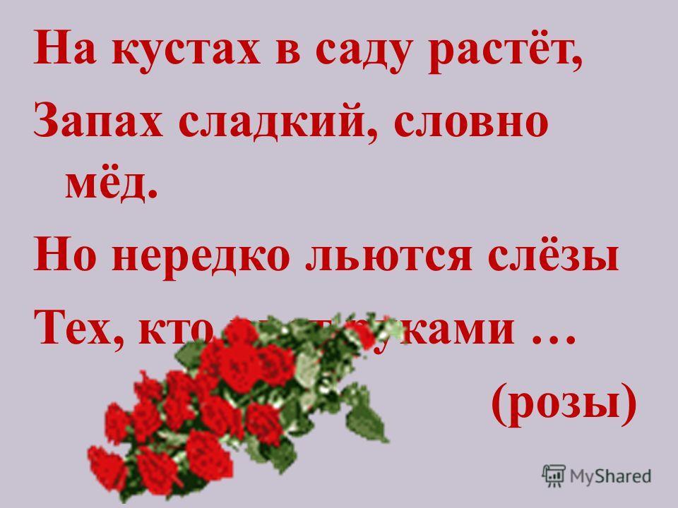 На кустах в саду растёт, Запах сладкий, словно мёд. Но нередко льются слёзы Тех, кто рвет руками … (розы)