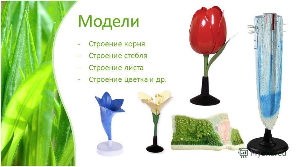 Модели -Строение корня -Строение стебля -Строение листа -Строение цветка и др.
