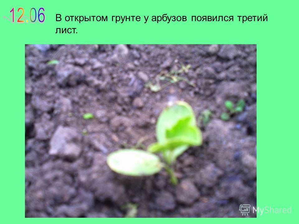 В открытом грунте у арбузов появился третий лист.