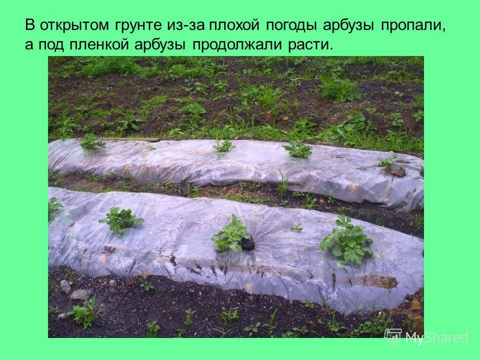 В открытом грунте из-за плохой погоды арбузы пропали, а под пленкой арбузы продолжали расти.