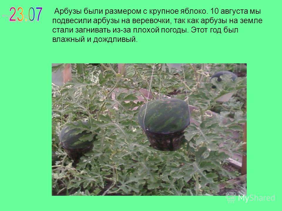 Арбузы были размером с крупное яблоко. 10 августа мы подвесили арбузы на веревочки, так как арбузы на земле стали загнивать из-за плохой погоды. Этот год был влажный и дождливый.
