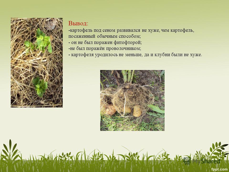 Вывод: -картофель под сеном развивался не хуже, чем картофель, посаженный обычным способом; - он не был поражен фитофторой; -не был поражён проволочником; - картофеля уродилось не меньше, да и клубни были не хуже.