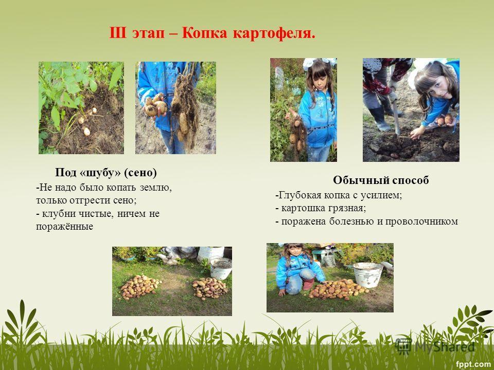 III этап – Копка картофеля. Под «шубу» (сено) Обычный способ -Не надо было копать землю, только отгрести сено; - клубни чистые, ничем не поражённые -Глубокая копка с усилием; - картошка грязная; - поражена болезнью и проволочником