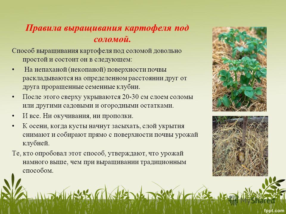 Правила выращивания картофеля под соломой. Способ выращивания картофеля под соломой довольно простой и состоит он в следующем: На непаханой (некопаной) поверхности почвы раскладываются на определенном расстоянии друг от друга проращенные семенные клу