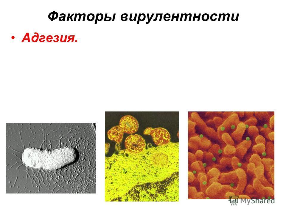 Факторы вирулентности Адгезия.
