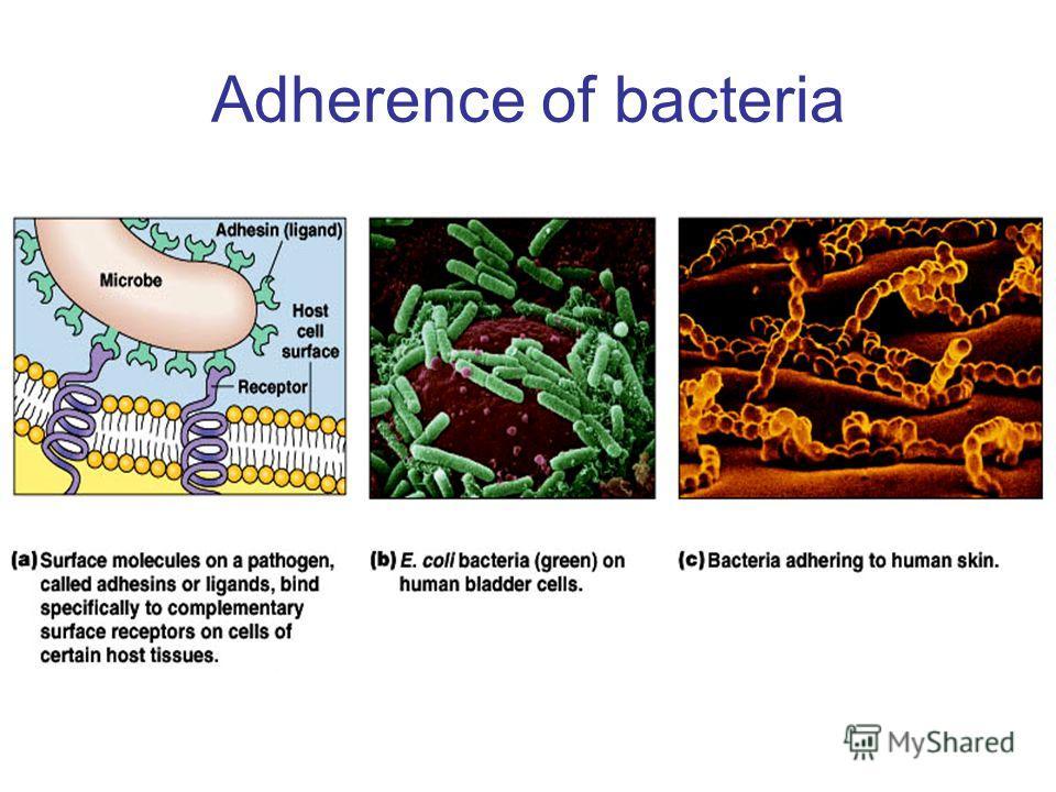 Adherence of bacteria