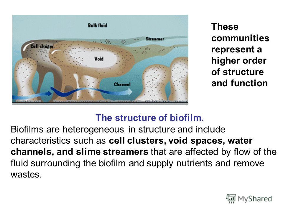 These communities represent a higher order of structure and function The structure of biofilm. Biofilms are heterogeneous in structure and include characteristics such as cell clusters, void spaces, water channels, and slime streamers that are affect
