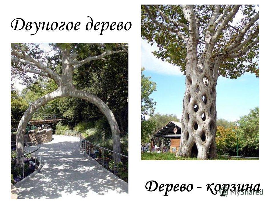 Двуногое дерево Дерево - корзина