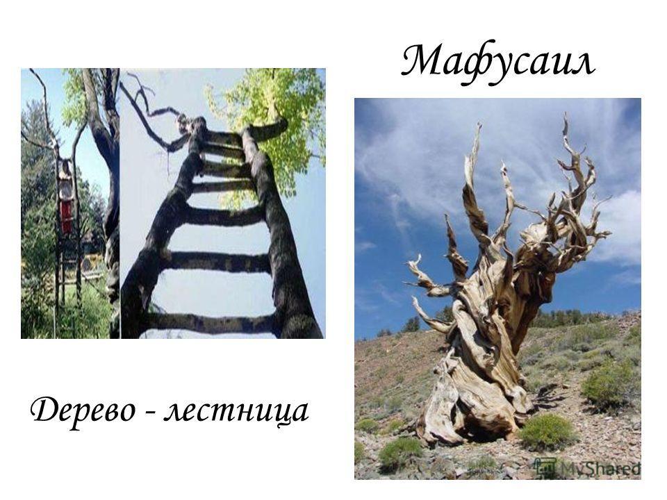 Дерево - лестница Мафусаил