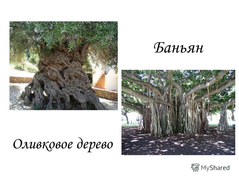 Оливковое дерево Баньян