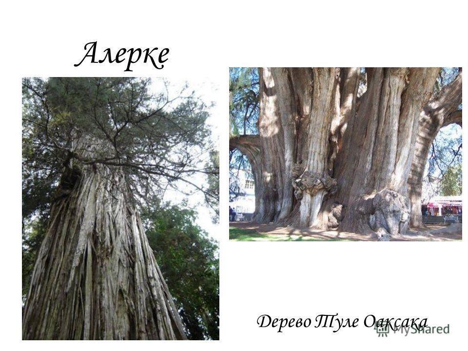 Алерке Дерево Туле Оаксака