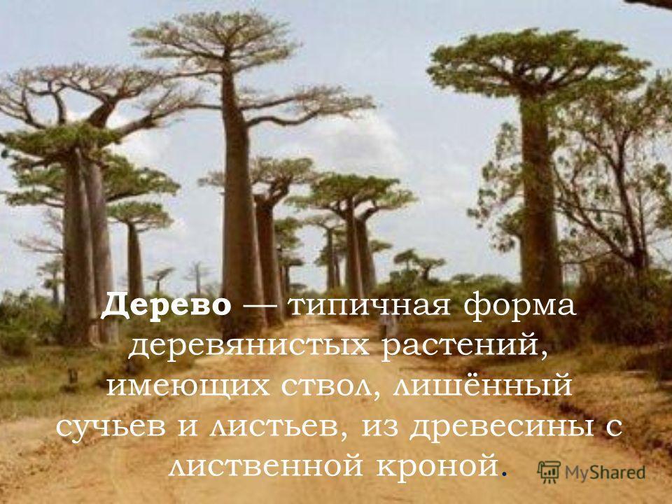 Дерево типичная форма деревянистых растений, имеющих ствол, лишённый сучьев и листьев, из древесины с лиственной кроной.
