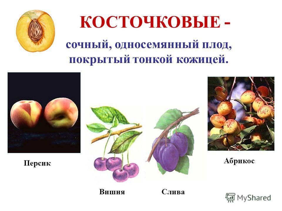 КОСТОЧКОВЫЕ - сочный, односемянный плод, покрытый тонкой кожицей. Абрикос Персик ВишняСлива