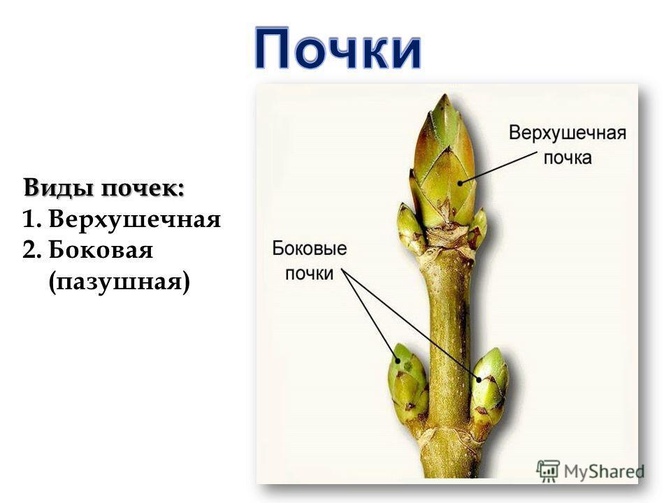 Виды почек: 1.Верхушечная 2.Боковая (пазушная)