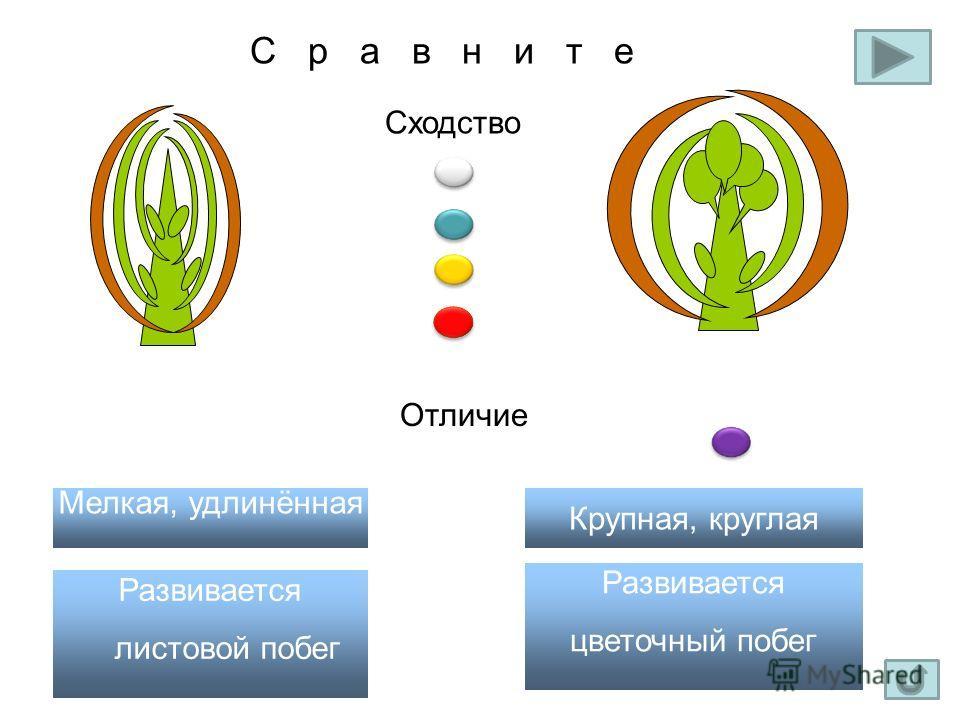 С р а в н и т е Сходство Отличие Развивается цветочный побег Развивается листовой побег Крупная, круглая Мелкая, удлинённая