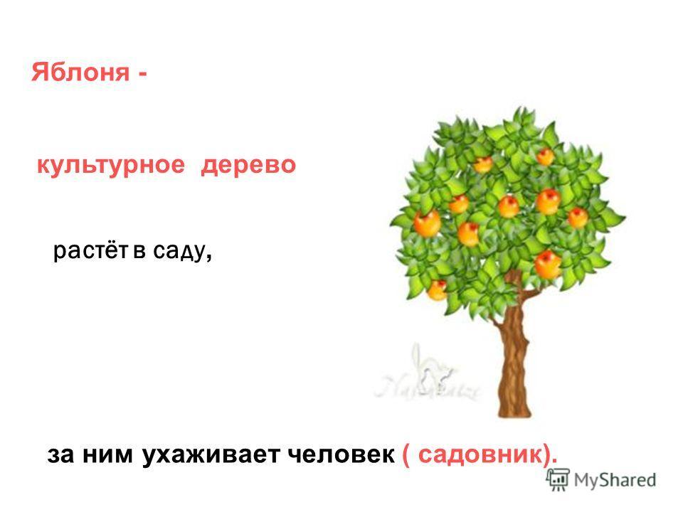 Яблоня - растёт в саду, за ним ухаживает человек ( садовник). культурное дерево