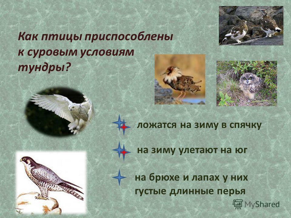 Как птицы приспособлены к суровым условиям тундры? ложатся на зиму в спячку на брюхе и лапах у них густые длинные перья на зиму улетают на юг