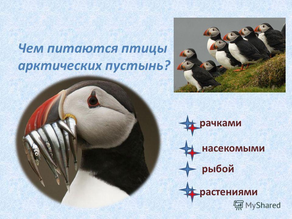 Чем питаются птицы арктических пустынь? рачками насекомыми рыбой растениями