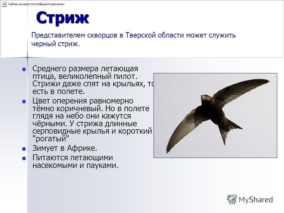 Стриж Среднего размера летающая птица, великолепный пилот. Стрижи даже спят на крыльях, то есть в полете. Среднего размера летающая птица, великолепный пилот. Стрижи даже спят на крыльях, то есть в полете. Цвет оперения равномерно тёмно коричневый. Н
