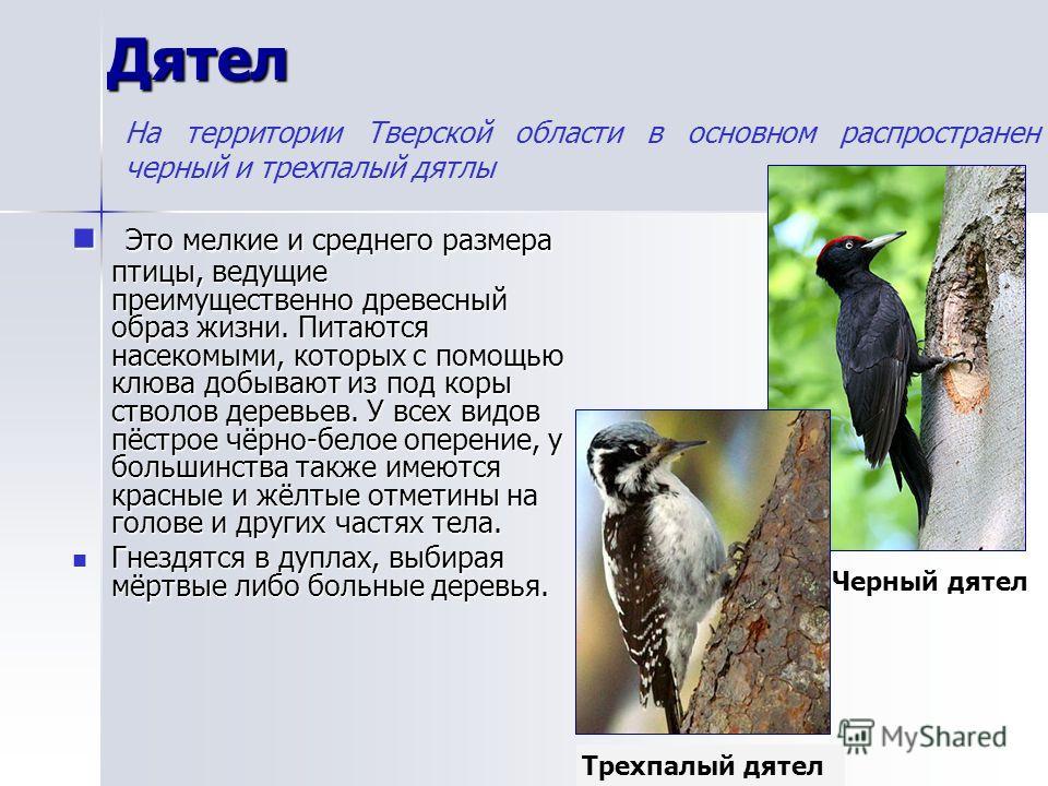 Дятел Это мелкие и среднего размера птицы, ведущие преимущественно древесный образ жизни. Питаются насекомыми, которых с помощью клюва добывают из под коры стволов деревьев. У всех видов пёстрое чёрно-белое оперение, у большинства также имеются красн