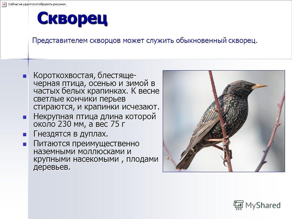 Скворец Короткохвостая, блестяще- черная птица, осенью и зимой в частых белых крапинках. К весне светлые кончики перьев стираются, и крапинки исчезают. Короткохвостая, блестяще- черная птица, осенью и зимой в частых белых крапинках. К весне светлые к